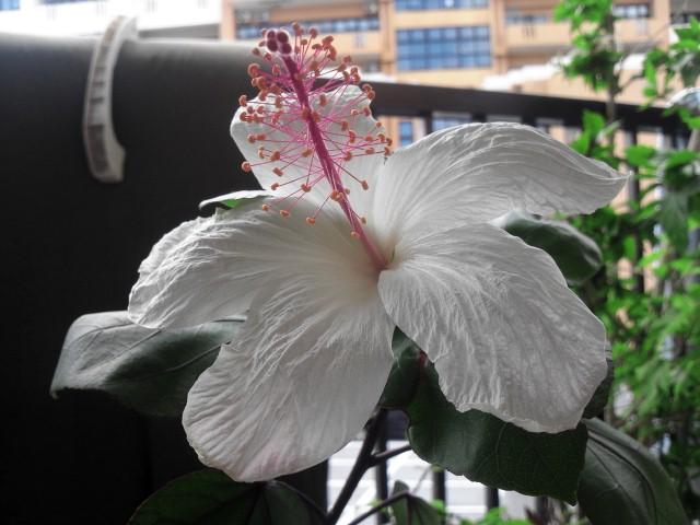 130623 今日のハイビスカス Hibiscus arnottianus
