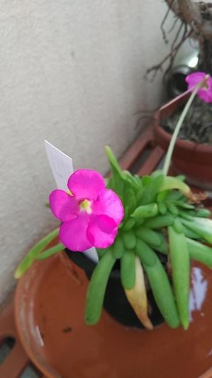 ムシトリスミレ花